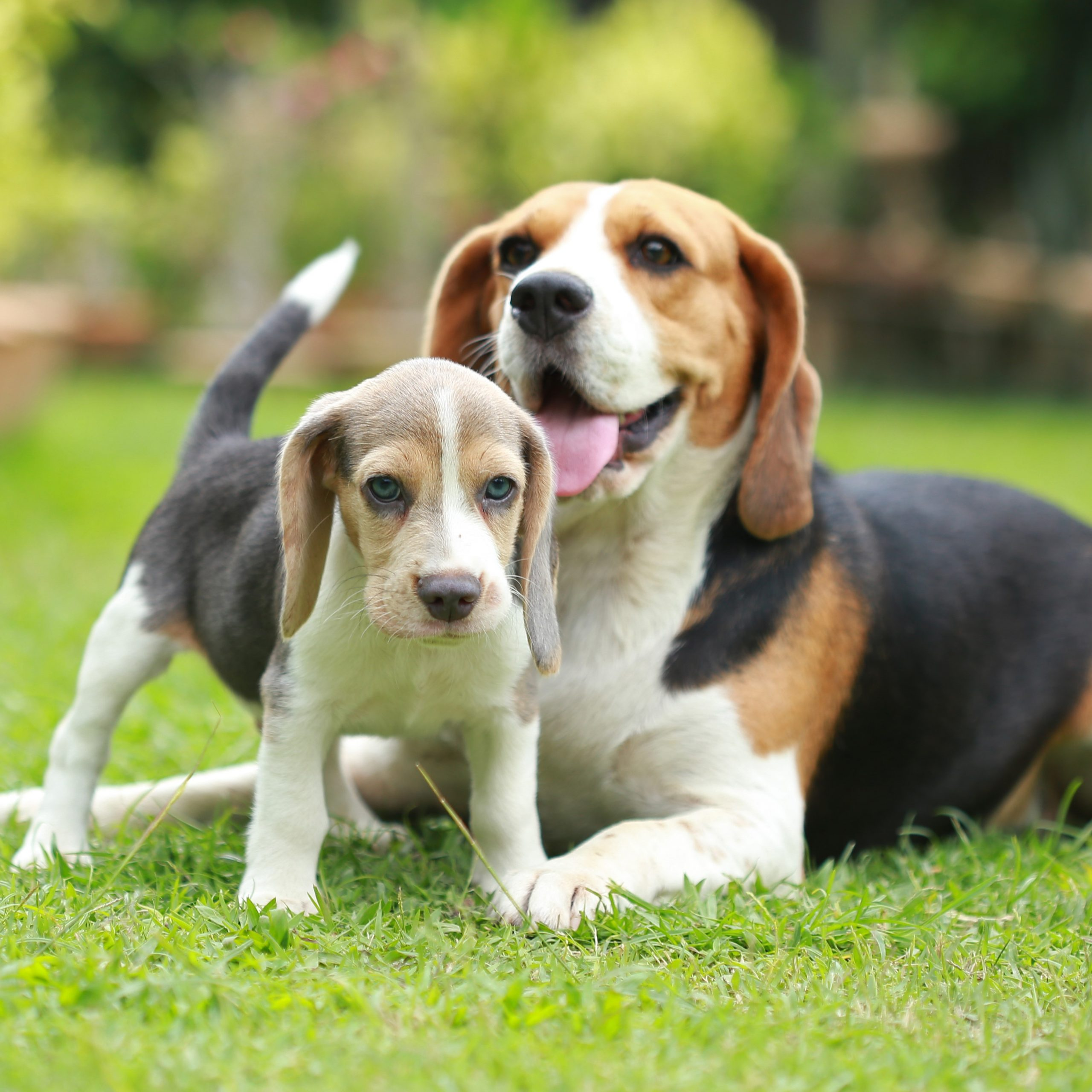 Beagle Dog Breed Information and Pictures